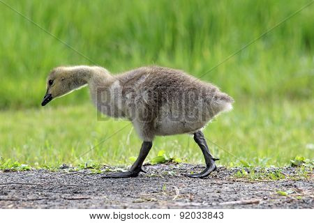 Walking Gosling