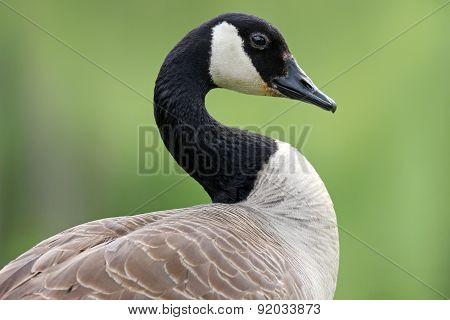 Canada Goose in Profile