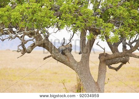 Leopard rests in tree after meal