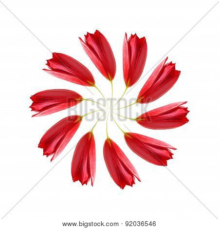Distorted swirl of red tulips
