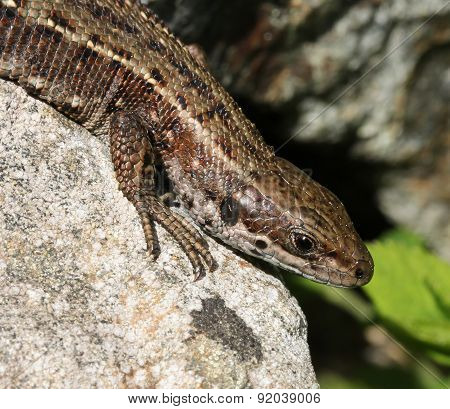 Viviparous Lizard Basking Close-up