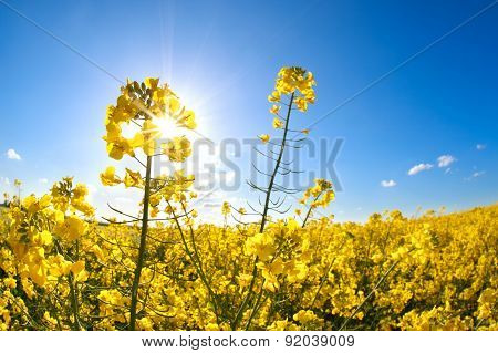Rapeseed Flowers Over Blue Sky And Sunshine