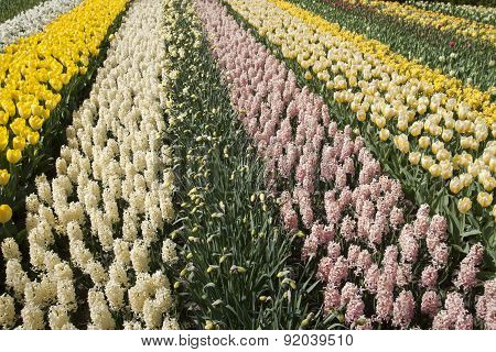 Tulips and hyacinths in a row