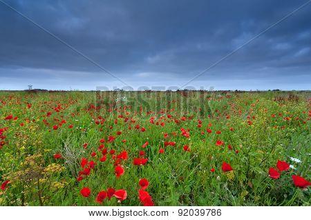 Poppy Flower Field In Summer
