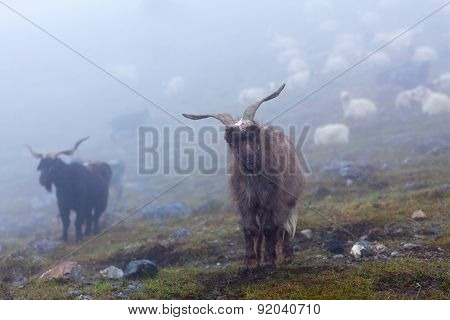 Goats In The Nepal Himalaya