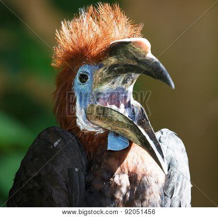 Black-casqued  Blue-wattled Hornbill Young