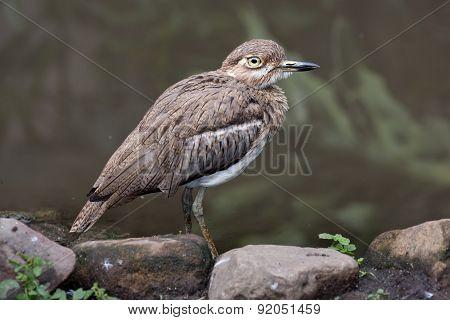 Water Dikkop Or Thick-knee Bird