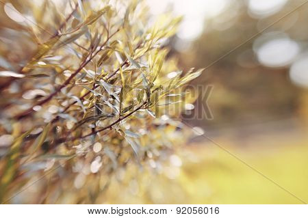 Abstract Background With Bokeh With Branches Of Willow.