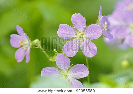 Wild Geraniums After A Spring Rain