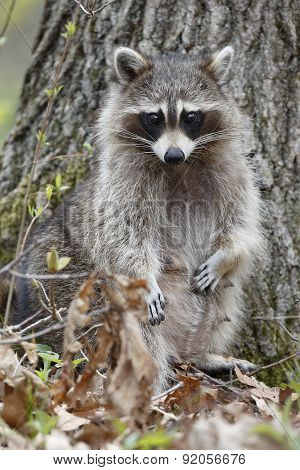 Female Raccoon