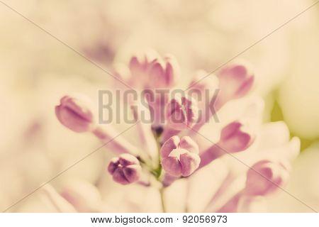 Purple spring lilac flowers blooming close-up. Syringa vulgaris. Vintage