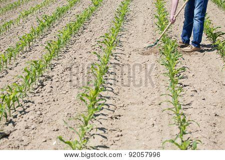 Hoeing Corn Field