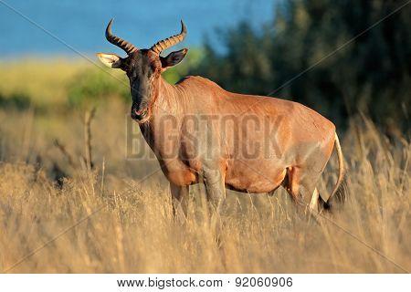 Rare tsessebe antelope (Damaliscus lunatus) in natural habitat, South Africa