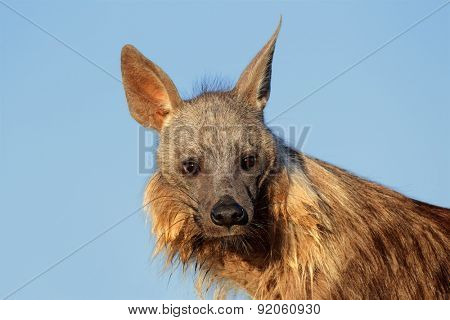 Portrait of a brown hyena (Hyaena brunnea) against a blue sky, Kalahari desert, South Africa