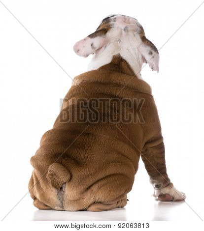 cute puppy sitting looking up on white background - bulldog three months old