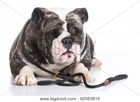 dog on a leash - bulldog wearing a slip lead laying down on white background