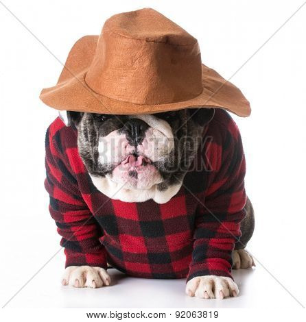 country dog - bulldog wearing plaid shirt and western hat on white background