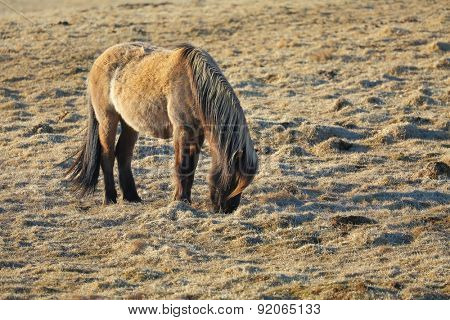 Icelandic horse grazing on a field