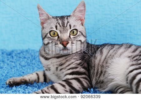 Beautiful cat on blue background