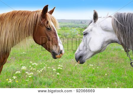 Two beautiful horses grazing on meadow