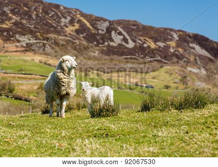 Sheep And Lambs In Welsh Mountain Farm