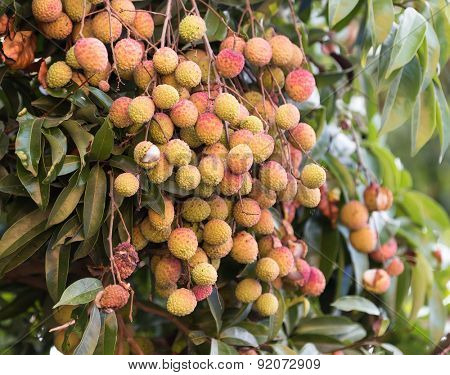 lychee fruit on the tree
