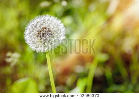 Dandelion In The Meadow