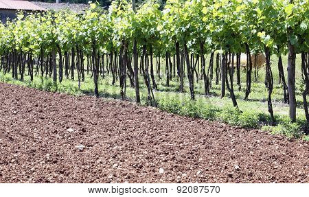 Long Vineyards In The Italian Hills At Summer