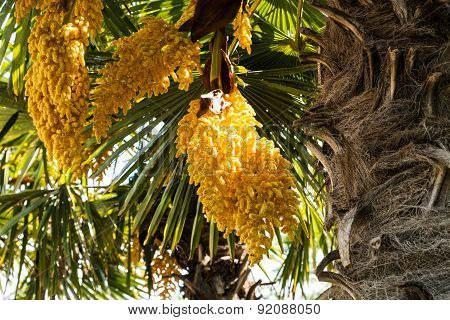 Chinese Windmill Palm In Bloom
