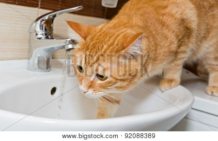 Red Pet Cat And Sink
