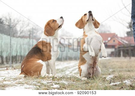 Amazing Beagles In Winter Garden