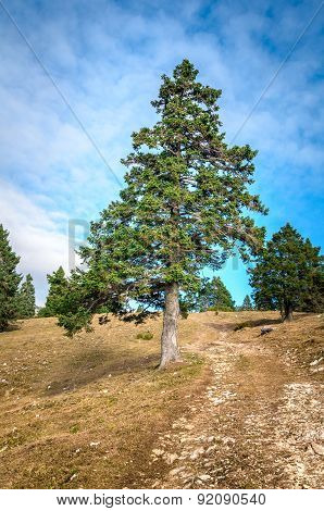 Pine Tree Is Standing On The Side Of A Mountain Road Or Hiking Path
