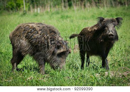 Wild boar in spring