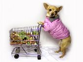 foto of bag-of-dog-food  - female chihuahua wearing her winter coat while grocery shopping - JPG