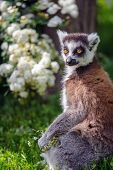 stock photo of nose ring  - Lemur suitor with flowers sitting on sunny summer day on grass - JPG