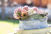 picture of bucket  - Colorful flower in metal bucket in garden - JPG