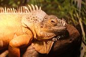 pic of amphibious  - The image of a lizard - JPG