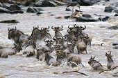 picture of wildebeest  - herd of white bearded wildebeest  - JPG
