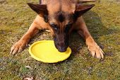 stock photo of german-sheperd  - Thirsty German shepher ddog drinking water from a disc like toy during a hot day on a grass - JPG