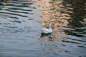 image of webbed feet white  - A white duck swimming in blue sparkling water. ** Note: Soft Focus at 100%, best at smaller sizes - JPG
