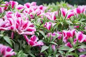 picture of petunia  - Pink and white petunia flowers with green leaf plants in the garden - JPG