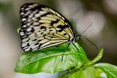 picture of nymphs  - Tree Nymph or Paper Kite Butterfly on a green leaf - JPG