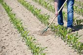 stock photo of hoe  - The worker hoeing the young corn field - JPG
