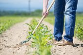 pic of hoe  - The worker hoeing the young corn field - JPG