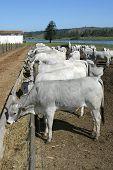 picture of zebu  - Beef cattle feeding in feedlot on farm brazil - JPG