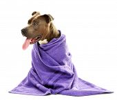 image of staffordshire-terrier  - American Staffordshire Terrier with towel isolated on white - JPG