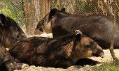 stock photo of tapir  - A family of Baird - JPG