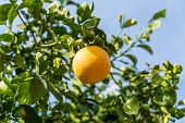 stock photo of orange-tree  - Orange Tree with the branch of ripe oranges - JPG