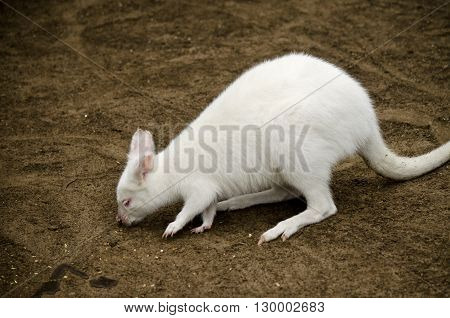 the albino wallaby is eating food left on the dirt