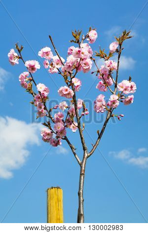 Young sapling of Prunus serrulata or Japanese flowering cherry in blossom covered in pink flowers symbolic of spring blue sky background